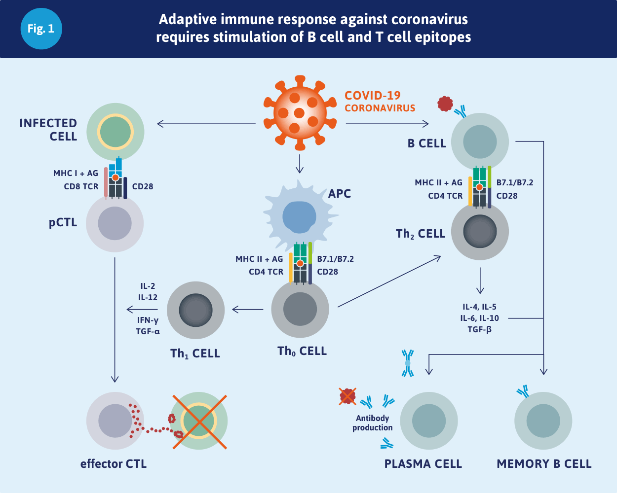 Adaptive immune response against coronavirus requires stimulation of B cell and T cell epitopes