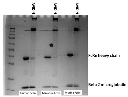 Biotinylation of FcRn Reagents